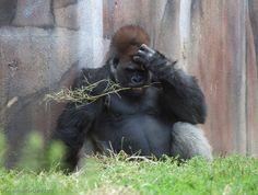 It's like he knows. St. Louis Zoo.