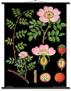 A Dog Rose Botanical Poster from a series of German Scientific Charts still produced by the original printer. Impressive science decor with vintage classroom style! Botanical Drawings, Botanical Prints, Botanical Posters, Illustrations, Illustration Art, Vintage Botanical Illustration, Flora Und Fauna, Rose Wall, Original Vintage