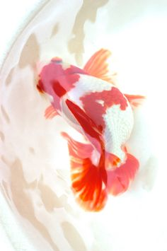 Japanese goldfish from fukuro kingyo