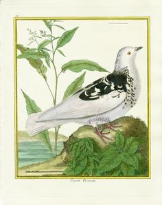Martinet c1770's: Pigeon Romain. Rock Pigeon