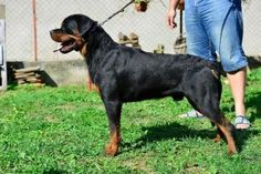 hurleyhaus rottweilers-rottweiler puppies for sale in missouri