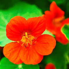 Stuff nasturtium flowers with herbed cream cheese or fold them into omelets for a peppery punch.   Photo: Barbara Lutterbeck/Alam   thisoldhouse.com  