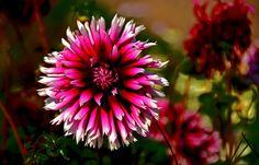 Hast Du Blumen hinterm Haus, ...  kommt täglich dort die Sonne raus. Besonders auch bei Dahlien. Auch wenn die echte Sonne mal nicht scheint. :-)
