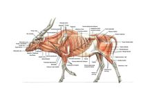 Eland Musculature via Terryl Whitlatch