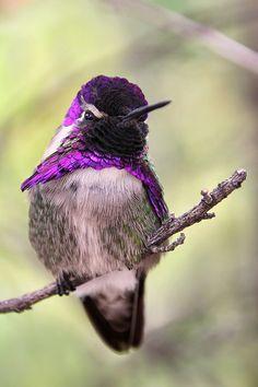 Top+of+the+Pecking+Order+by+papatheo.deviantart.com+on+@deviantART  Costa's hummingbird.