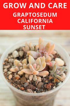 California Sunset Succulent