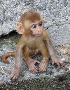 Rhesus Macaque baby monkey | Recent Photos The Commons Getty Collection Galleries World Map App ...