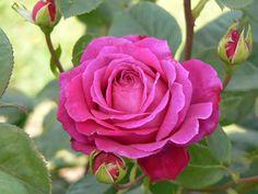 'big purple' - rose - garden - hot pink