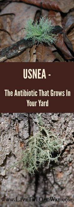 One of my favorites, Usnea ssp. is a lichen that is revered for its antibacterial properties and its ability to clear multiple types of infection. Since it's classified as a lichen, it's not technically a plant or herb, but is a half algae and half fungus organism (loosely speaking). Look for it growing on a variety of trees, especially hardwoods and fruits. If I … Read More