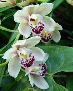 Cymbidium Orchid, by njchow82, via Flickr Exotic Flowers, Amazing Flowers, Love Flowers, Orchid Flowers, Cymbidium Orchids, White Orchids, Tropical Landscaping, Tropical Plants, Lily Bouquet Wedding