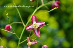 starlette s of the shade garden, flowers, gardening, Epimedium sulphureum pink is a fab clump forming semi evergreen perennial that does well in dry shade Yes I said it DRY SHADE You re welcome