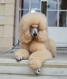 All About The Eager Poodle Puppy Grooming Cortes Poodle, I Love Dogs, Cute Dogs, Poodle Haircut, Poodle Hairstyles, Poodle Grooming, Grooming Dogs, Poodle Cuts, Teddy Bear Dog