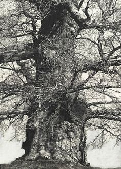 Patrick van Caeckenbergh, Drawings of Old Trees (summer 2010)