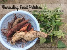 Harvesting 3 kinds of sweet potatoes: Covingtons, Hawaiians, and purples, and how to save slips for next year.