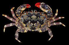 Eriphia gonagra, one of the most common and strikingly coloured crabs on the Brazilian coast Shrimp And Lobster, Crab Stuffed Shrimp, Beautiful Sea Creatures, Animals Beautiful, Marine Photography, Crab Art, Rare Animals, Odd Animals, Fishing World