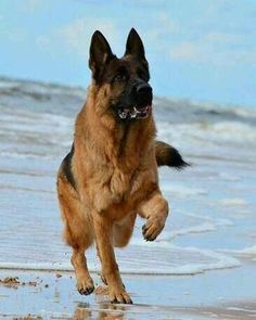German Shepherds are the best things EVER!