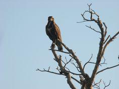 Trekking, Bald Eagle, Animals, Animales, Animaux, Animal, Animais, Hiking