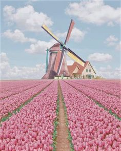 Keukenhof Tulip Gardens in Amsterdam, Netherlands Tulip Fields Netherlands, Amsterdam Netherlands, The Colour Of Spring, Tulips Garden, City Aesthetic, Beautiful Places To Visit, Travel List, Windmill, Pretty In Pink