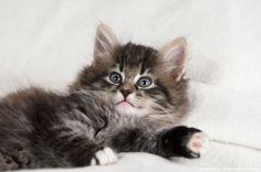 Norwegian Forest Cat, kitten