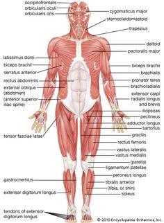human muscular system: anterior view [Credit: Encyclopædia Britannica, Inc.]