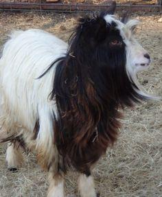 mini silky fainting goats