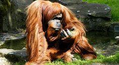 orangutan_2011