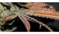1 new message Weed Drug, Weed Shop, Buy Weed, Weed Buds, Weed Types, Cannabis Seeds For Sale, Farm Online