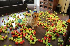 We did this to Briggs with a dozen tennis balls this weekend - we'll def be doing this again with this many tennis balls for his bday!!!
