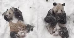 Giant Panda Wakes Up In The Morning To A Lot Of Snow, His Reaction Is Adorable!