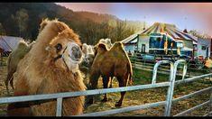 "ZIRKUS IN NOT + DURCH CORONA-PANDEMIE ""CIRCUS SANDY"" IM TRIESTINGTAL GES... Austria, Camel, Horses, Film, Animals, Corona, Movie, Animales, Film Stock"