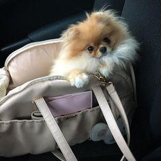 ♥️#pomeranianloverpost #Boubou#pomeranianworld #pomeranian #pomeraniansofinstagram #pompuppy #justpomeranians #thedailypomeranian #instapomeranian #sweet #adorable #spitz #sendadogphoto #thedailypompom #lovemypomeranian #fluffy #smalldog #pomeranianpage #littledoll #loveanimals #photooftheday #animalphotography #petsofinstagram #dogsofinsta #cutedog #cutepet #instadogs #instapom #coolangel369#pomeranianpuppy