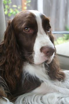 Springer Spaniel - a canine Mona Lisa! Chien Springer, Springer Spaniel Puppies, English Springer Spaniel, Spaniel Dog, Spaniel Breeds, Dog Breeds, Pet Dogs, Dogs And Puppies, Doggies