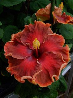 Hibiscus 'Roy Gommer'