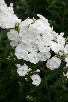 Buy border phlox Phlox paniculata 'Rembrandt' - Magnificent white trusses: Delivery by Crocus Part Shade Flowers, Pretty Flowers, White Flowers, Phlox Flowers, Planting Flowers, Wedding Flower Inspiration, Wedding Flowers, Garden Inspiration, Late Summer Flowers