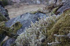 Reindeer lichen. Photo By. Knut Erik Blom