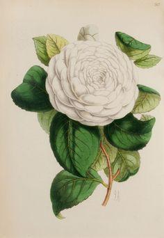 The Antiquarium - Antique Print & Map Gallery - James Andrews - White Camellia Pl. 147 Hand-colored lithograph