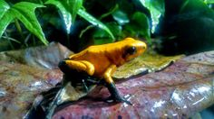 Phyllobates terribilis 'Black-footed Orange'