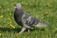 Tips for Keeping #Pigeons Out of Your Garden http://bit.ly/1RbV1Fm