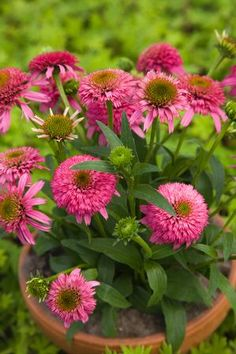 Echinacea 'Piccolino:Exposure  • Sun Tolerant  •Shade Tolerant  Soil Moisture Needs  • Average Soil  Nature Attraction  • Attracts Butterflies  Critter Resistance  • Deer Resistant  Attributes  • Good Cut Flower / Foliage  •Dried Flower  •Drought Tolerant  Season of Interest (Flowering)  • Summer  •Fall  Season of Interest (Foliage)  • Winter
