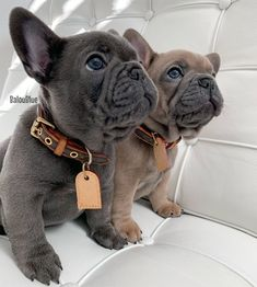 French Bulldog Tattoo, French Bulldog Blue, Teacup French Bulldogs, Teacup Bulldog, French Bulldog Pictures, Funny French Bulldogs, Merle French Bulldog, Bulldog Puppies For Sale, Cute Dogs And Puppies