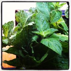 A Dozen Things to Do with Fresh Mint