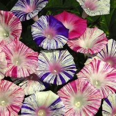 Carnivale De Venezia morning glory seeds - blue or pink striped Ipomoea flowers - Flowering Vine Seeds