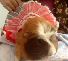Biscuit the Guinea Pig