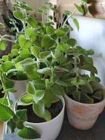 PASTU domov: Mast z rýmovníku Plants, Flora, Plant, Planting