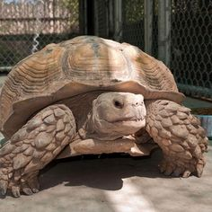 I have seen numerous suggestions for Russian tortoise diet Some great Some awful. Russian Tortoises are nibblers and appreciate broad leaf plants. Cute Tortoise, Giant Tortoise, Tortoise Turtle, Land Turtles, Cute Turtles, Terrapin, Types Of Turtles, Animals And Pets, Cute Animals