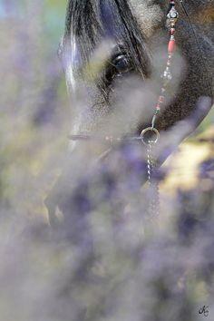 Gypsy Rose SWF :: Argent Farms LLC :: Distinctive Arabian Horses