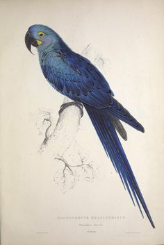 Edward Lear, Print from Natural History of Parrots, by Prideaux John Selby…