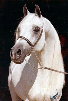 Gdansk Beautiful Arabian Horses, Majestic Horse, Most Beautiful Animals, Beautiful Birds, Beautiful Pictures, Arabian Stallions, White Horses, Horse Farms, Horse Pictures