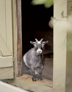 a gray-and-white pygmy goat, I want goats. Little pygmy goats to go with my little pygmy pup Mini Goats, Cute Goats, Baby Goats, Zoo Animals, Cute Animals, Pigmy Goats, Sheep Pig, Goat Barn, All Gods Creatures