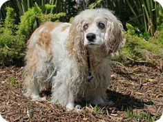 Cocker Spaniel Dog for adoption in San Pedro, California - PEQUITAS-- SPECIAL NEEDS! Blind or sight impared. Terrified at the shelter.